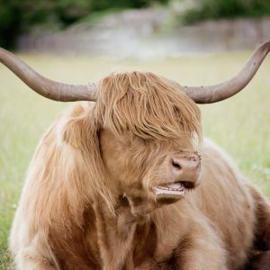 Cotswold Greetings Card Cow Highland Cow