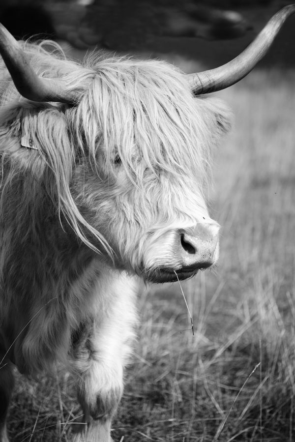 Cotswold Greetings Card Highland cow
