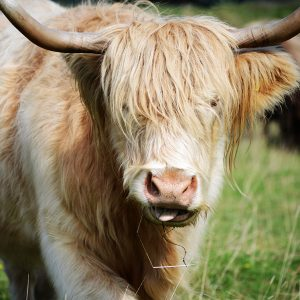 Highland Cow Greetings card Cotswold cows